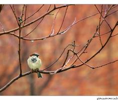 Vrabac