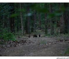 Susret sa divljim svinjama