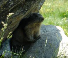 20-marmot