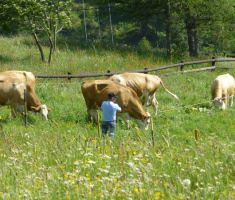 21-krave-mirno-pasu-travu